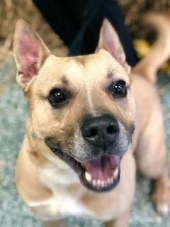 Tippy, an adoptable Pit Bull Terrier & German Shepherd Dog Mix in Williamsport, PA