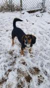 Beagle Dog: Ms. Piggy