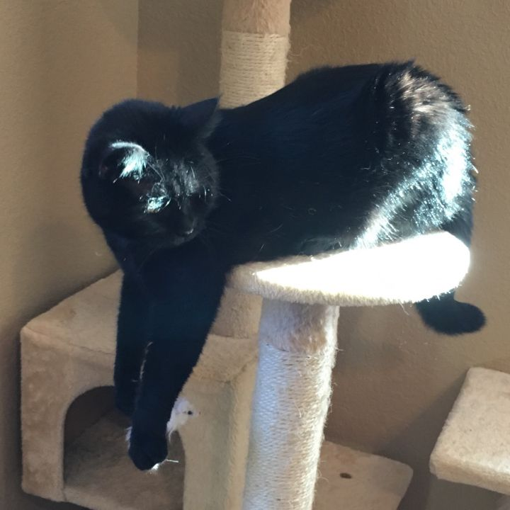 Luna*ADOPTION*PENDING, an adoptable Domestic Short Hair in Waverly, IA