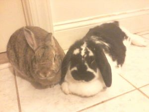 Meet Lady Patches  her husbun Leon They are a medium sized bonded pair Leon a handsome agouti i