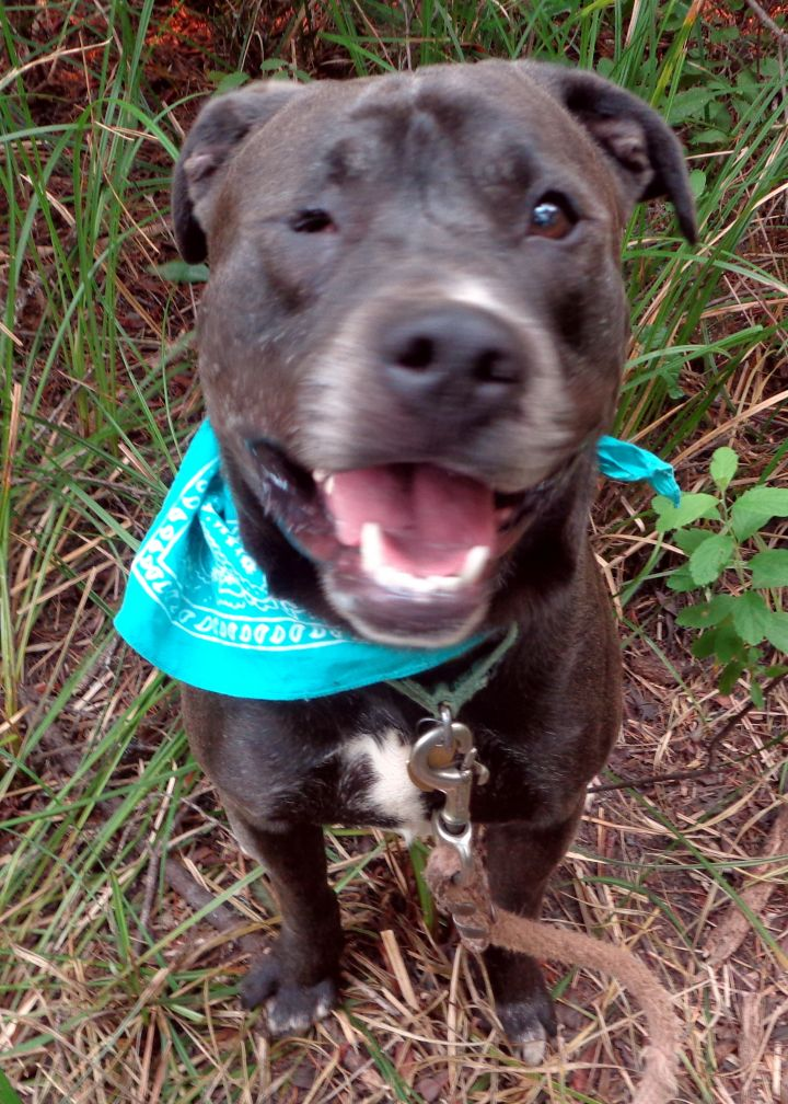 Lucky, an adopted Pit Bull Terrier & Labrador Retriever Mix in Crescent city, CA