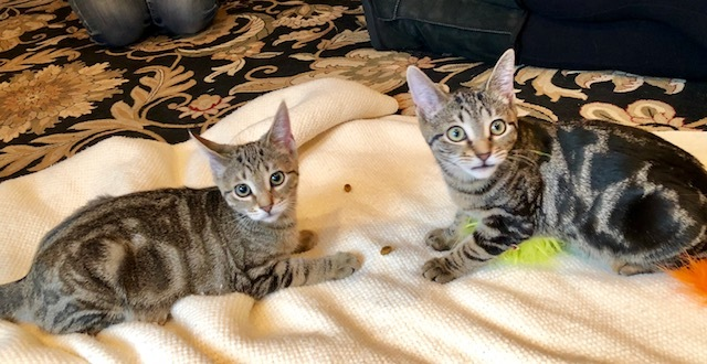Nila, Lila & Bailey, an adopted Domestic Short Hair in West Caldwell, NJ