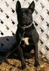 Labrador Retriever Dog: Leonard