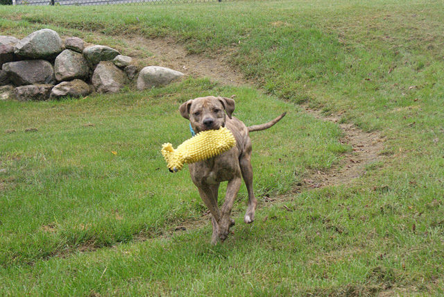 Toby, an adopted American Staffordshire Terrier & Pit Bull Terrier Mix in Saint Paul, MN