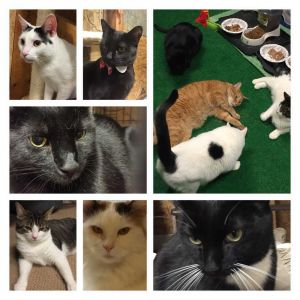 Foster Homes Needed! Please Volunteer Domestic Short Hair Cat