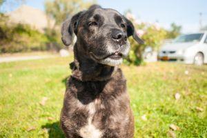 Polo Labrador Retriever Dog