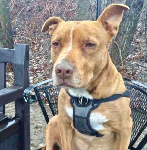 Staci American Staffordshire Terrier Dog
