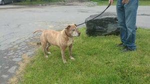 Tigger American Staffordshire Terrier Dog
