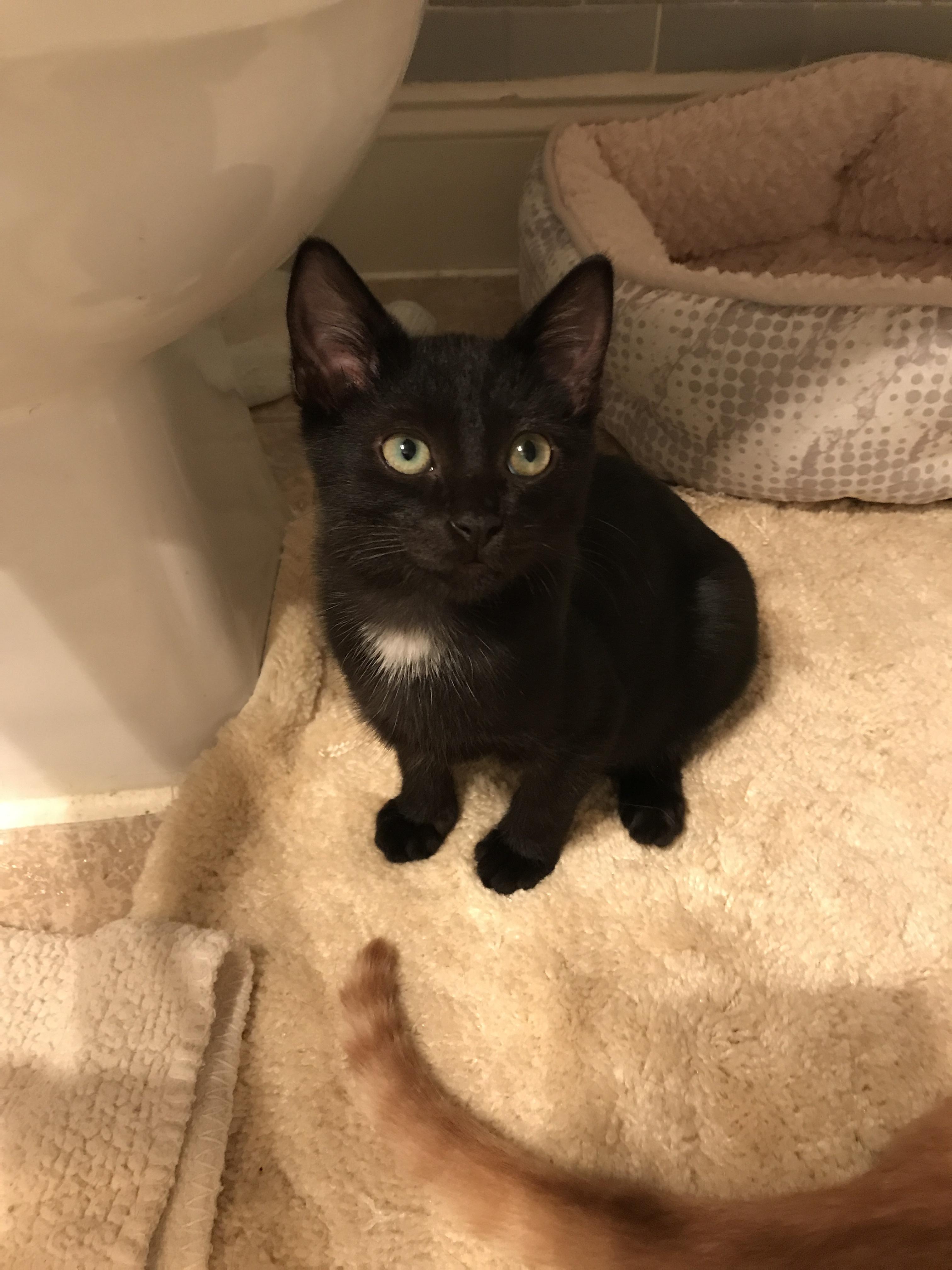 Cat for Adoption – Johnny Cash the Kitten in Black near Atlanta