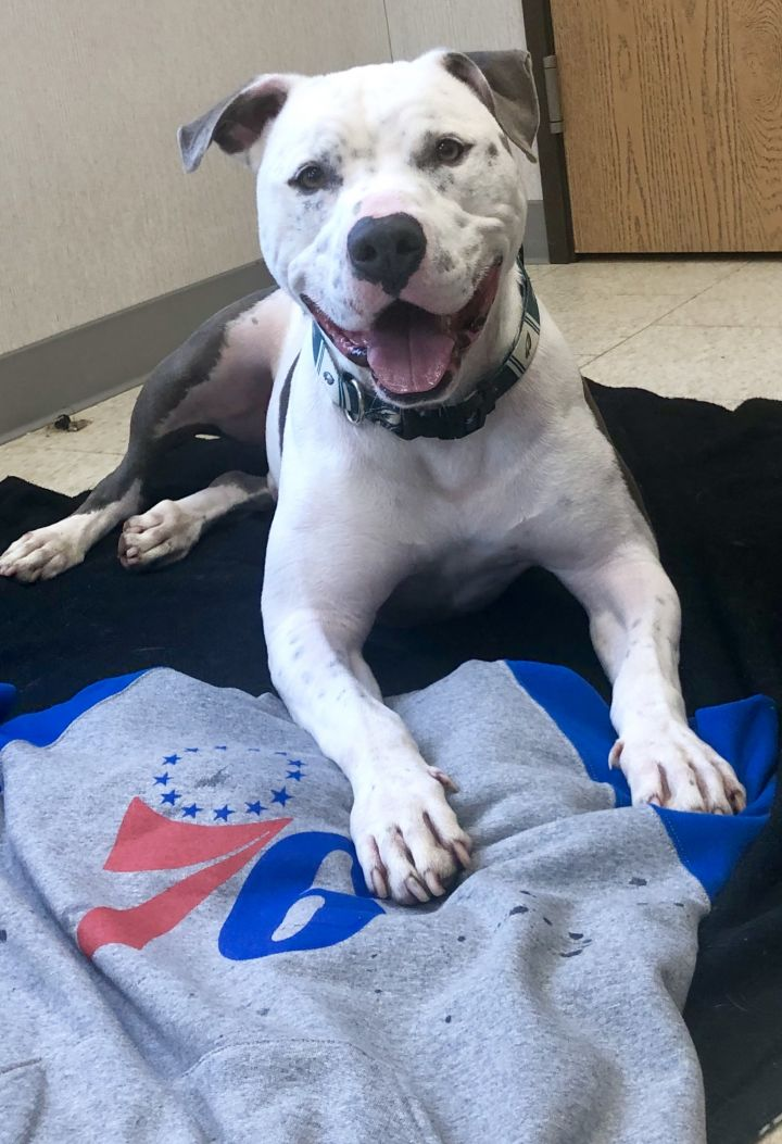 ODEN, an adopted American Bulldog & American Staffordshire Terrier Mix in Cape May Court House, NJ