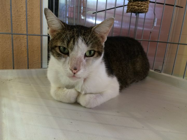 Samuel, an adoptable Domestic Short Hair in Oakland Park, FL