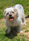 Shih Tzu Dog: Sam D3774