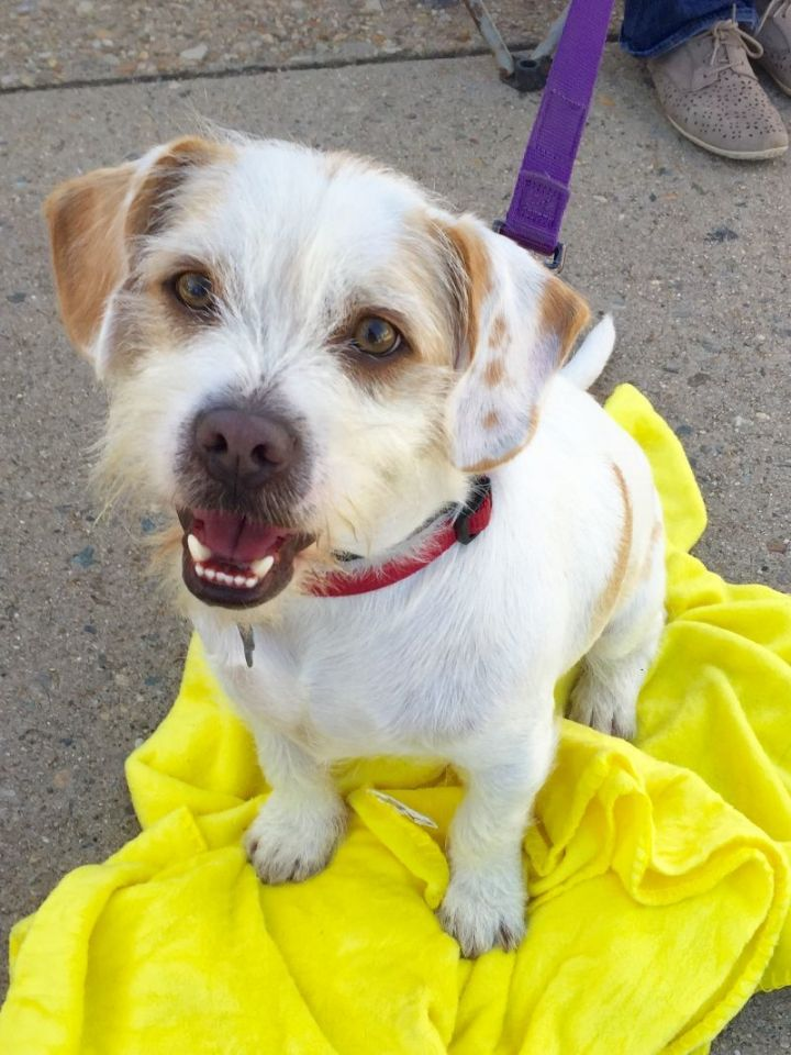 Harley, an adopted Terrier Mix in Richmond, VA