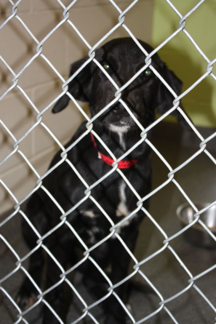 Bow, an adopted Labrador Retriever & Hound Mix in Perry, GA