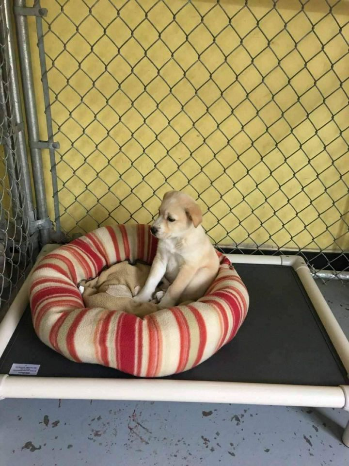 Butter Ball, an adopted Labrador Retriever & Terrier Mix in Fort Smith, NT