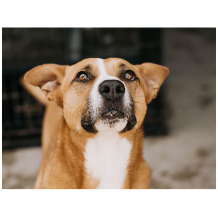 Precious, an adoptable Labrador Retriever & Shepherd Mix in Kingwood, TX