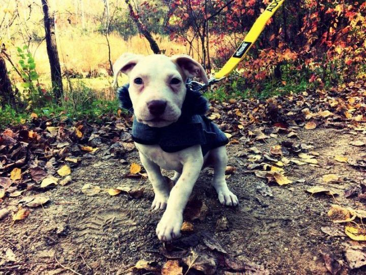 Sammi, an adopted American Staffordshire Terrier & Pit Bull Terrier Mix in Saint Paul, MN