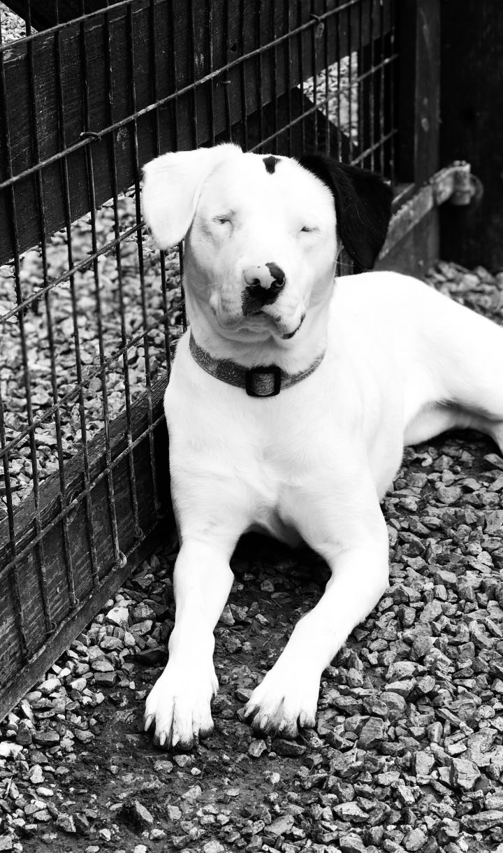 Laurent Racene, an adoptable Mixed Breed in Thompson's Station, TN