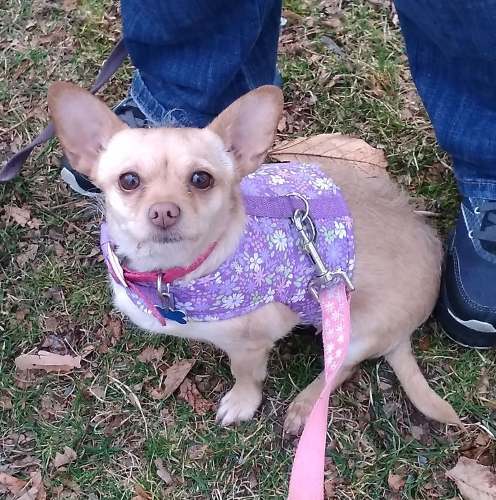 Piper, an adopted Chihuahua & Terrier Mix in Yakima, WA