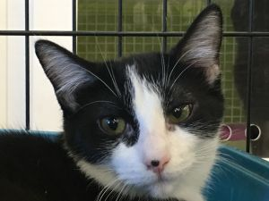 My name is Domino I am a female black and white tuxedo domestic shorthaired kit