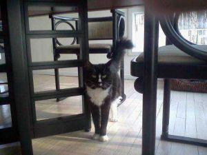 CC Domestic Short Hair Cat