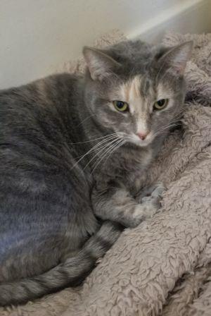Cat For Adoption Leslie A Dilute Tortoiseshell Mix In Prescott Az Petfinder