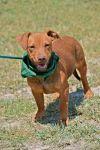 Dachshund Dog: Gator LB