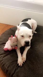Kitana, an adoptable American Bulldog in Beverly Hills, CA