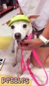Italian Greyhound Dog: Pebbles