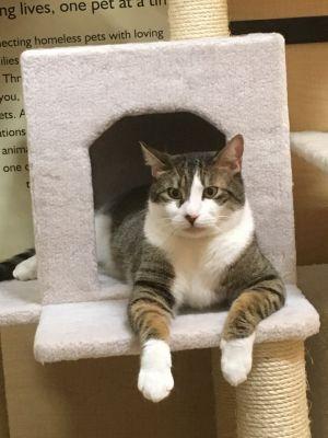 Sasha Domestic Short Hair Cat