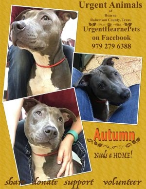 Autumn II American Staffordshire Terrier Dog