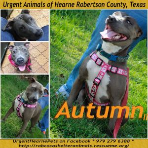 Autumn II American Staffordshire Terrier Dog