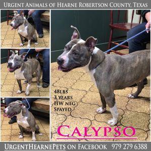 Calypso American Staffordshire Terrier Dog