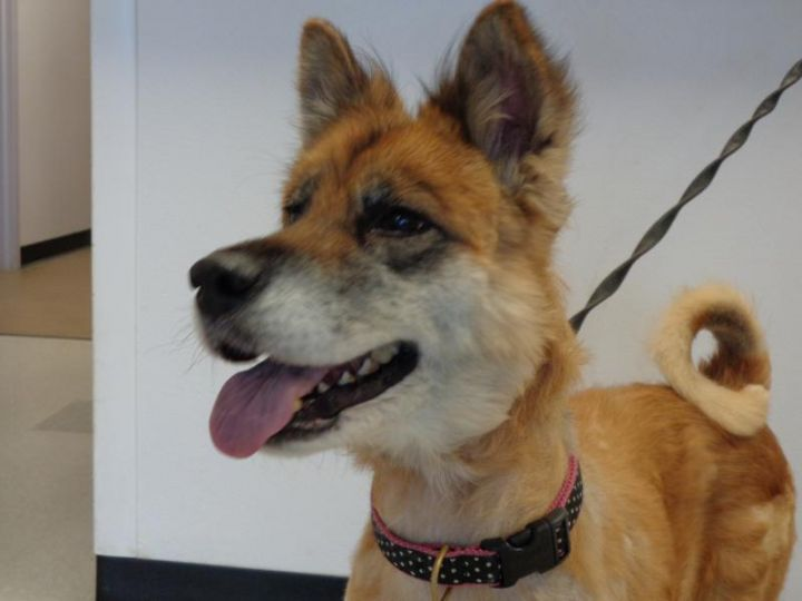 ANGEL, an adoptable Akita & Husky Mix in Dixon, IL