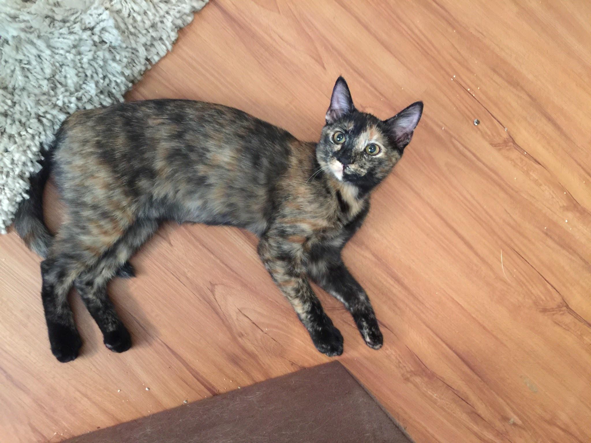 Cat for Adoption – Tulip near Atlanta GA