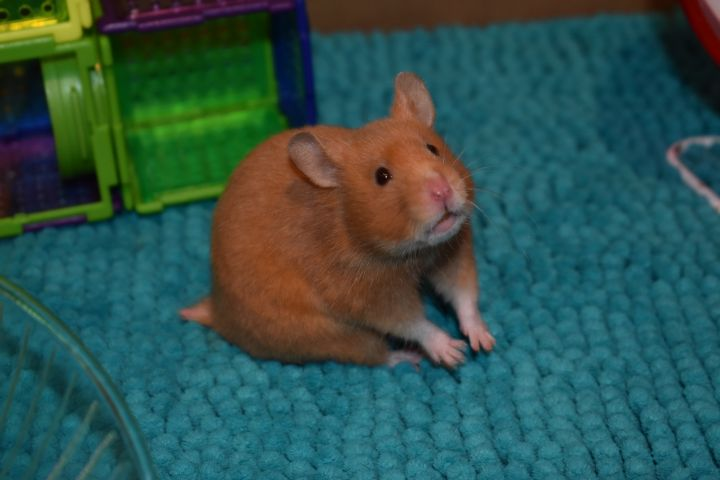 Amber, an adopted Hamster in Burlingham, NY