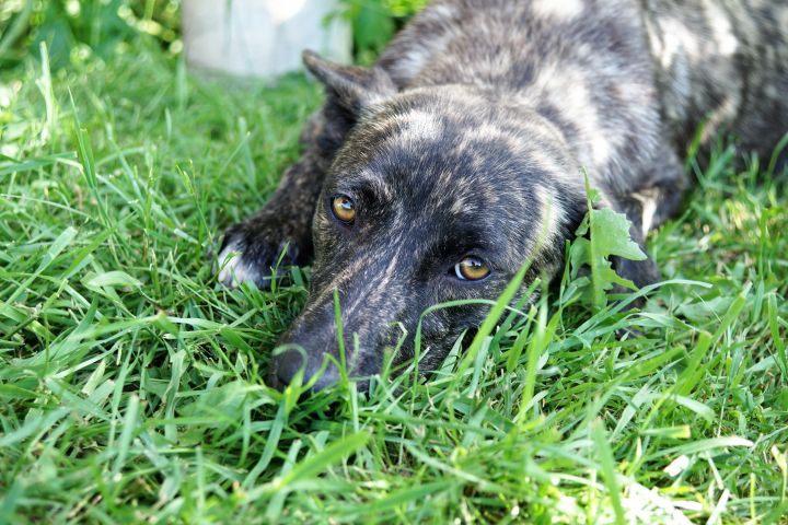 Abby, an adopted Plott Hound Mix in Albany, NY
