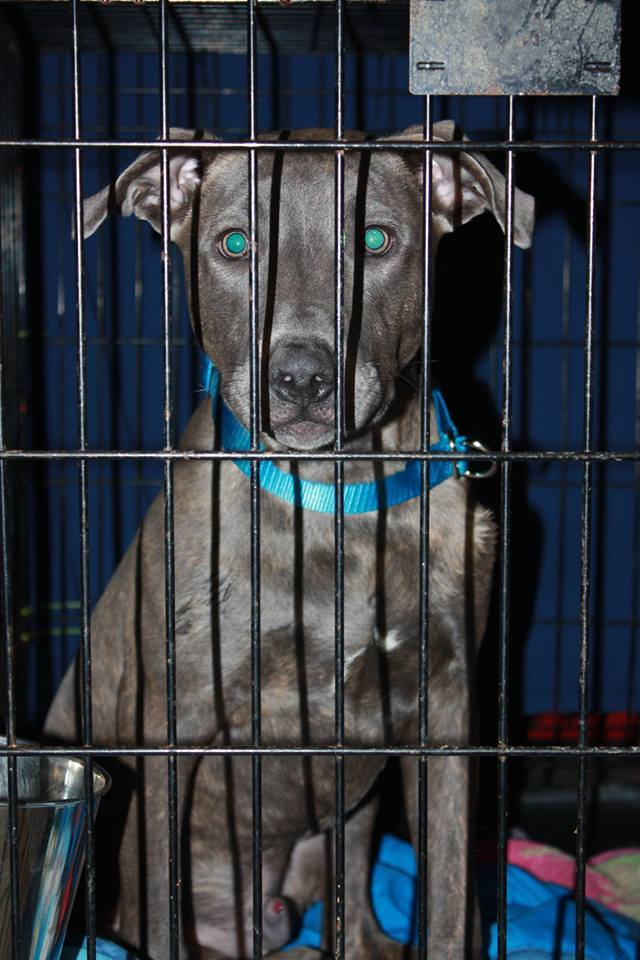 Blue, an adopted American Bulldog & Labrador Retriever Mix in Perry, GA
