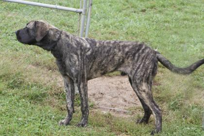 Drools Vern, an adopted Bullmastiff Mix in Bedford, IN