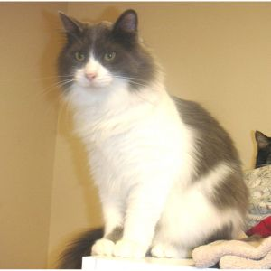 Dancer is a handsome gray and white male with medium length fur He came to us t
