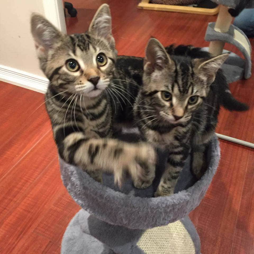 Cat for Adoption – Kittens near Whitby ON