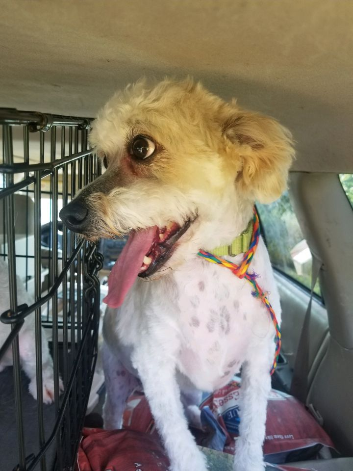 Gaston, an adoptable Poodle Mix in Dayton, OH
