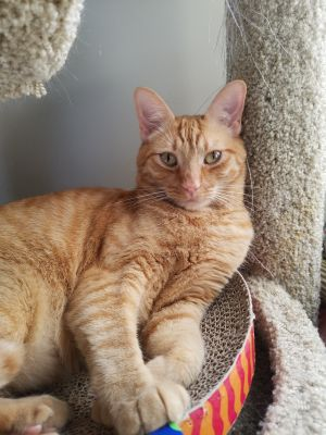 Please contact adoptwhis-purrorg for more information about this pet who is on
