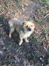 Yorkshire Terrier Yorkie Dog: Louie