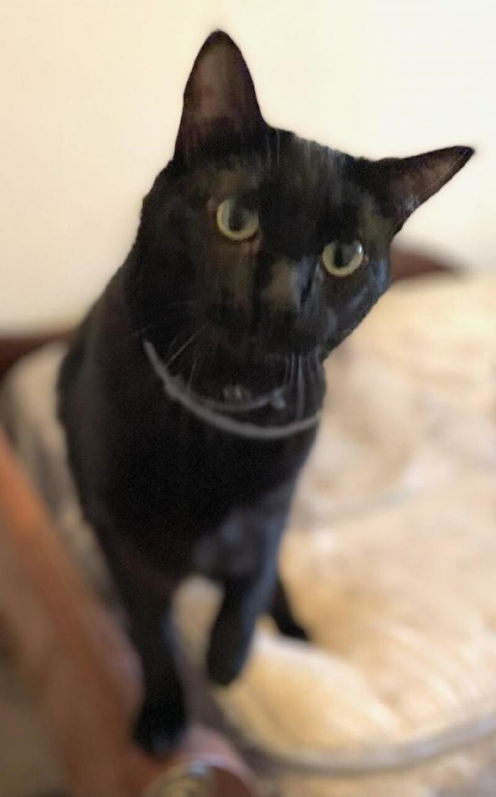 Harrison & Moya, an adoptable Domestic Short Hair in Waverly, IA