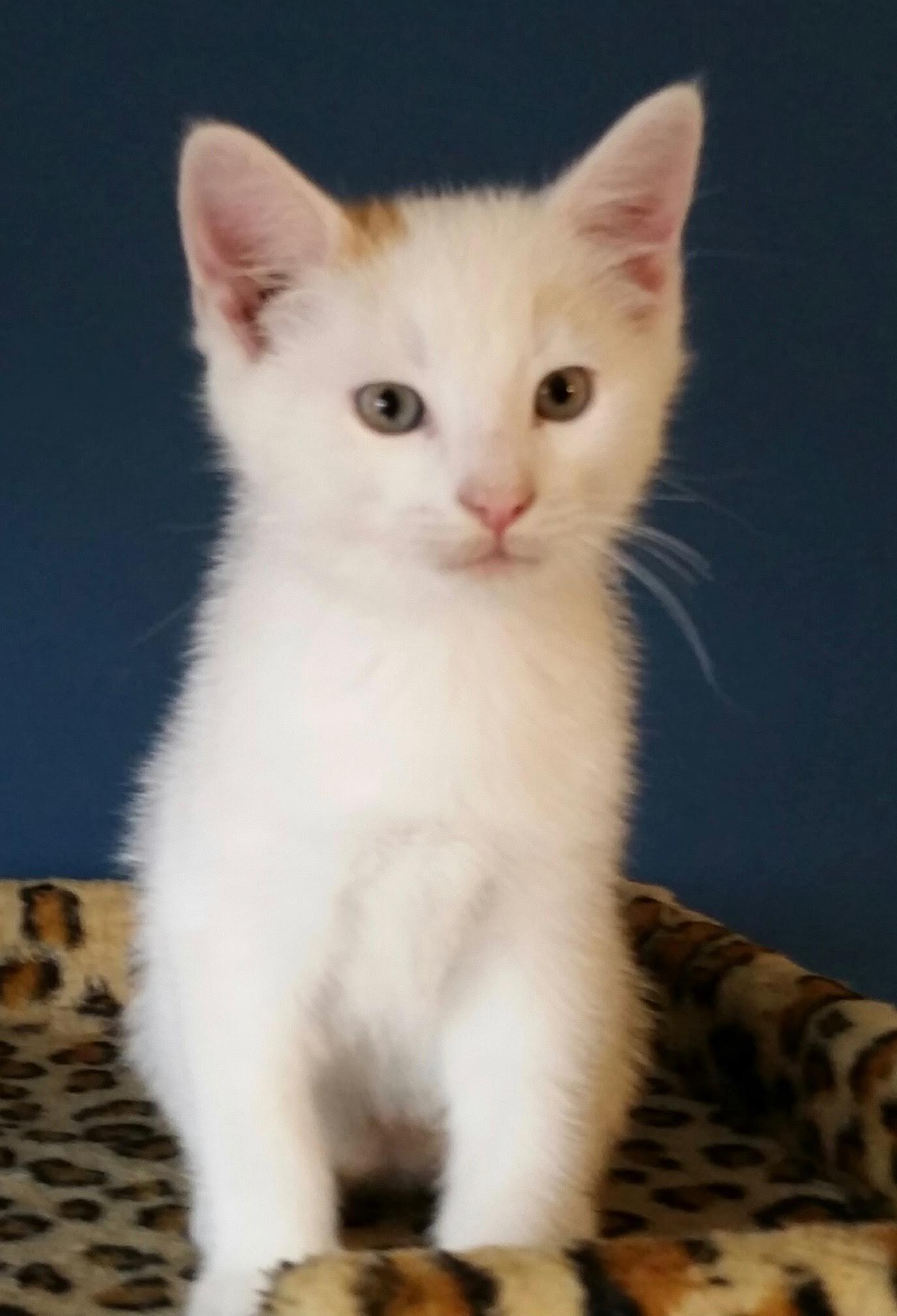 "Cat for Adoption – Lady ""C""s Kittens Boys near Arlington VA"