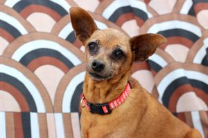 Boston is a full bred miniature pinscher was not able to remove second breed and a great little gu