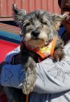 "Cairn Terrier Dog: ""Samantha"" - South Chicago burbs"