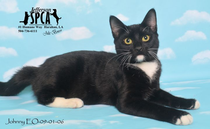 Johnny, an adopted Domestic Short Hair in Harahan, LA