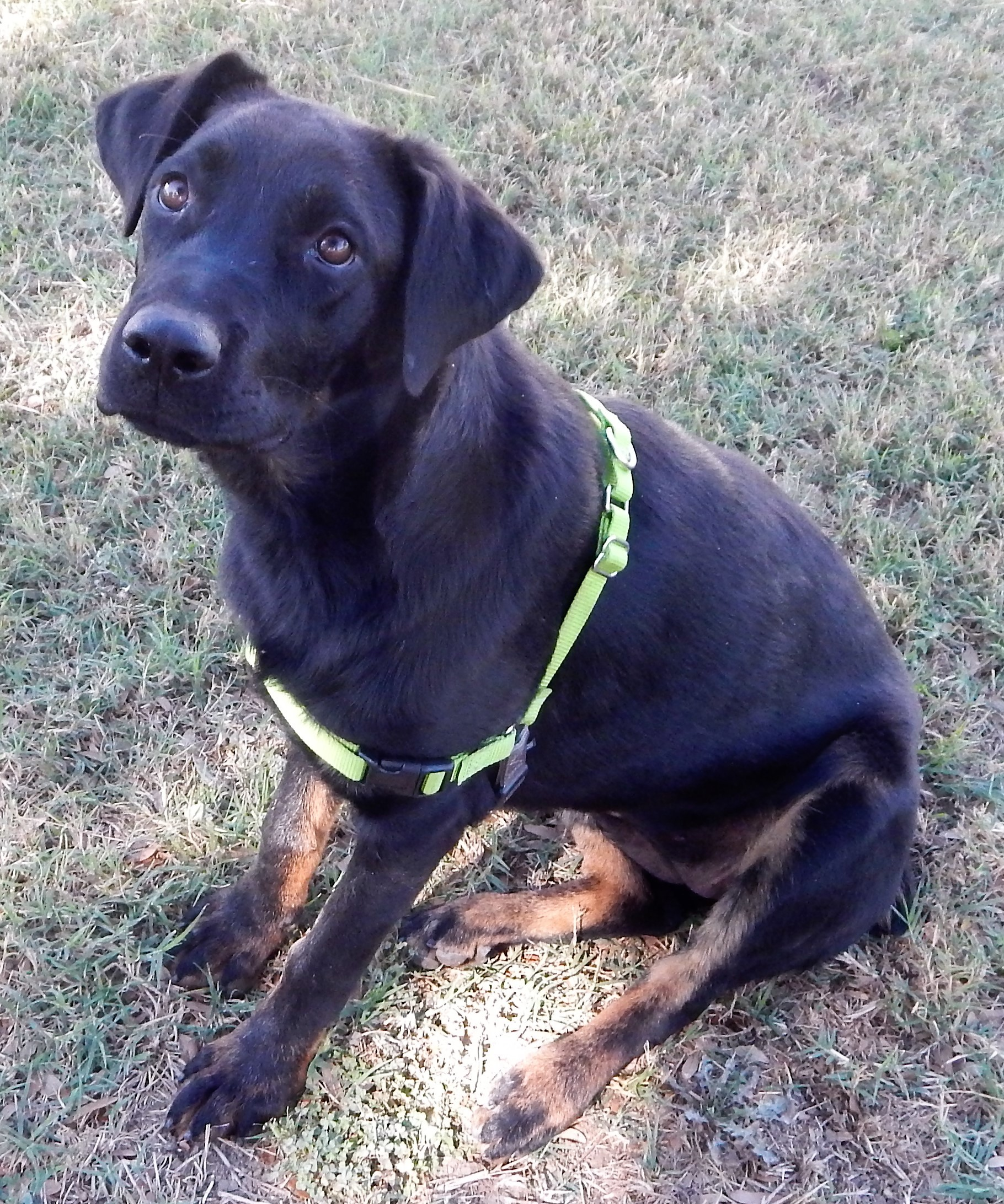 Dog For Adoption Roxy Young Labrottie Dumped In Country Near